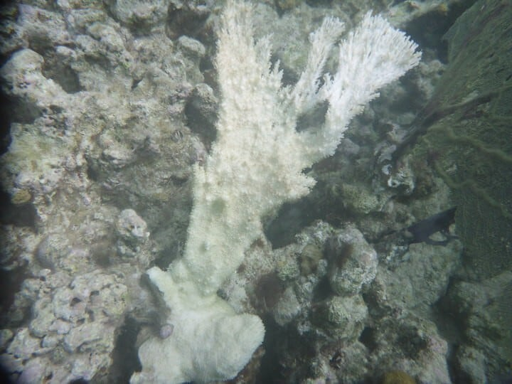 Effects of sunscreen on Elkhorn Coral