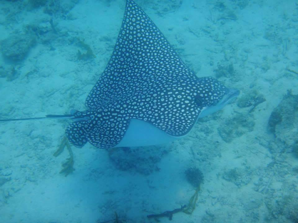 Busy-Bee-Charters-Spotted-Eagle-Ray