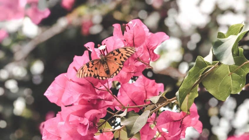Bougainvillea and Monarch in the Virgin Islands